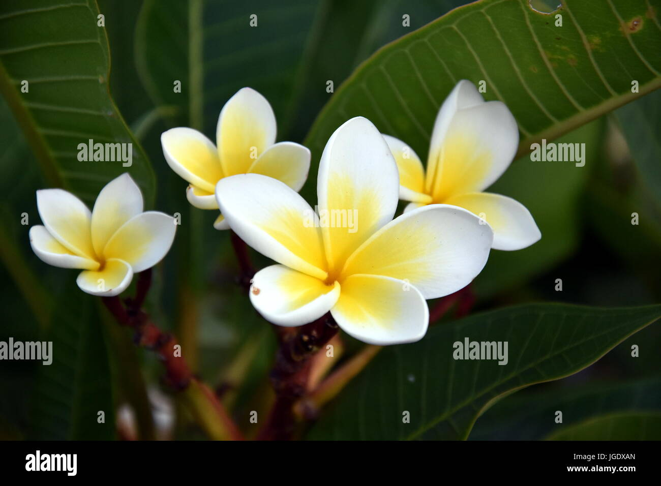 Yellow Orange White Frangipani Plumeria Rubra Flowers Bouquet With Fresh Water