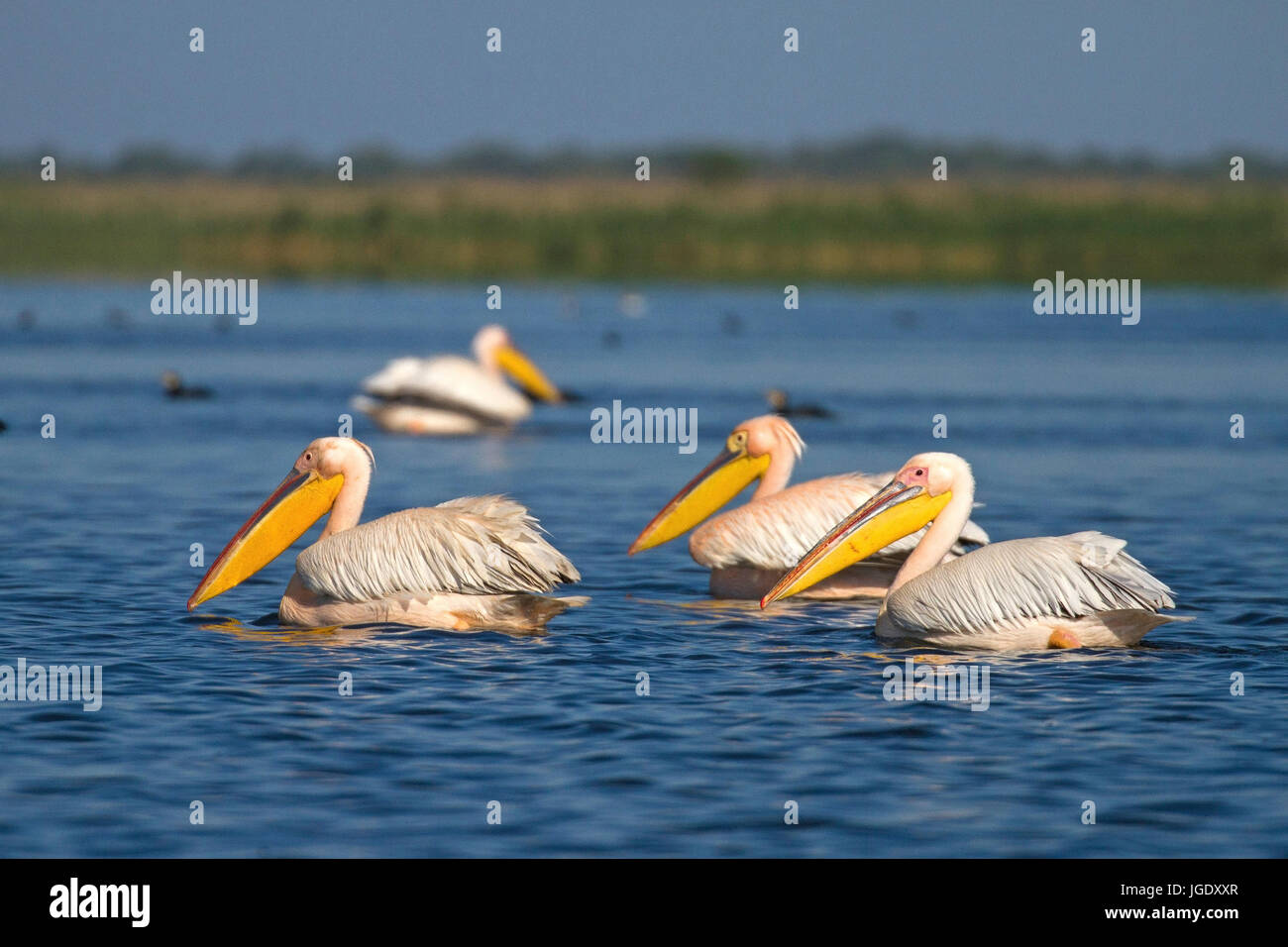 Rose's pelican, Pelecanus onocrotalus, Rosapelikan (Pelecanus onocrotalus) Stock Photo