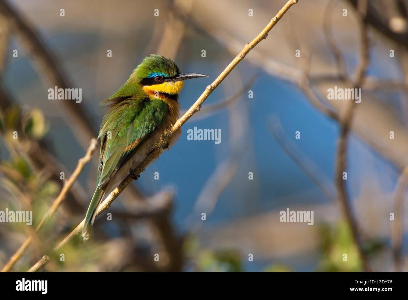 Midget pint, Merops pusillus, Zwergspint (Merops pusillus) - Stock Image
