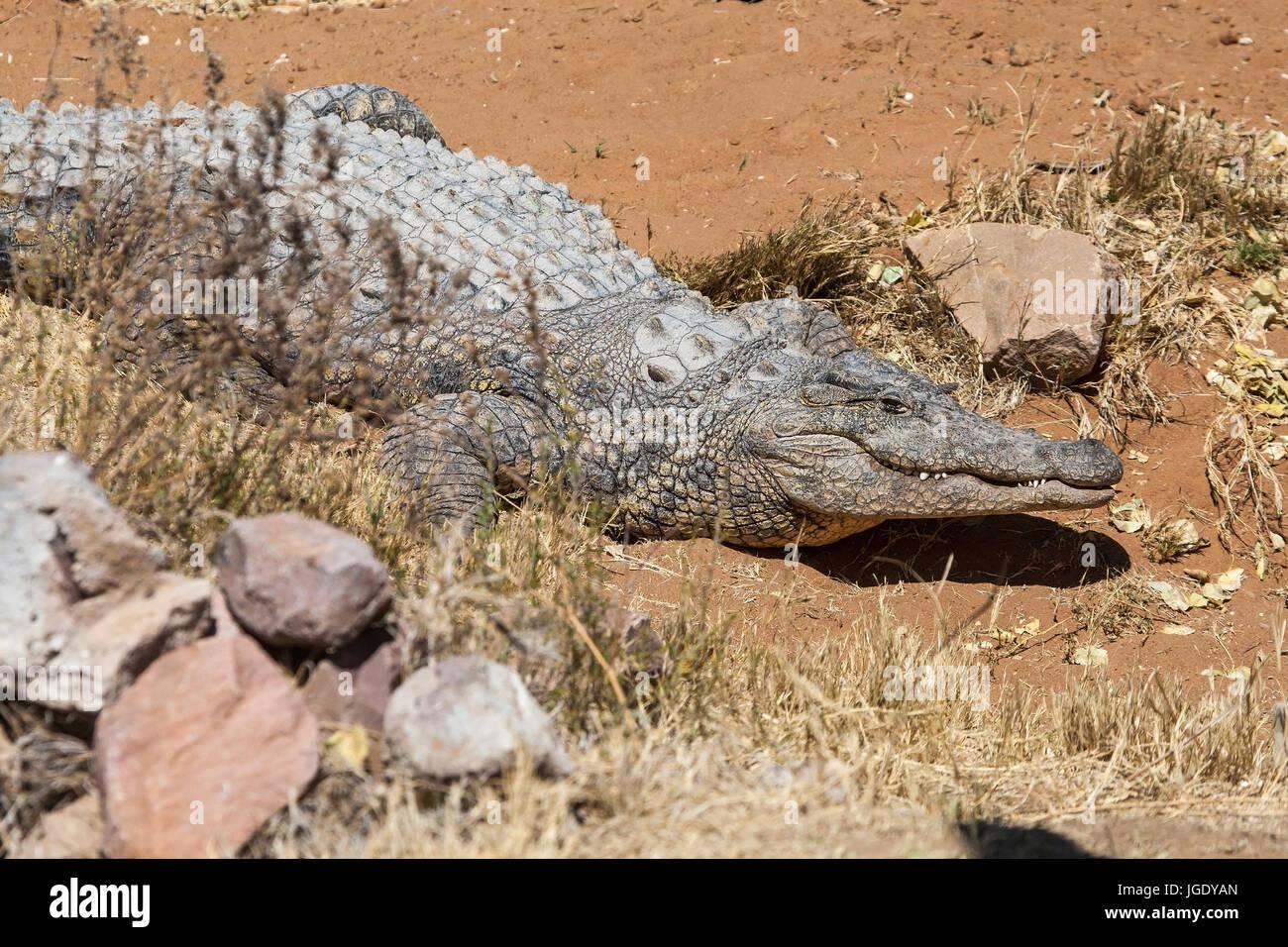 Strip crocodile, Crocodylus porosus, Leistenkrokodil (Crocodylus porosus) - Stock Image