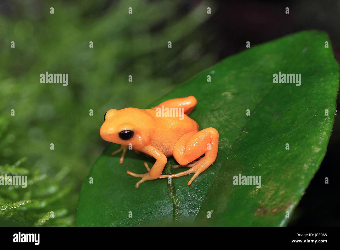 Little golden frogs, Goldfroeschchen  Mantella aurantiaca  Golden mantella Stock Photo