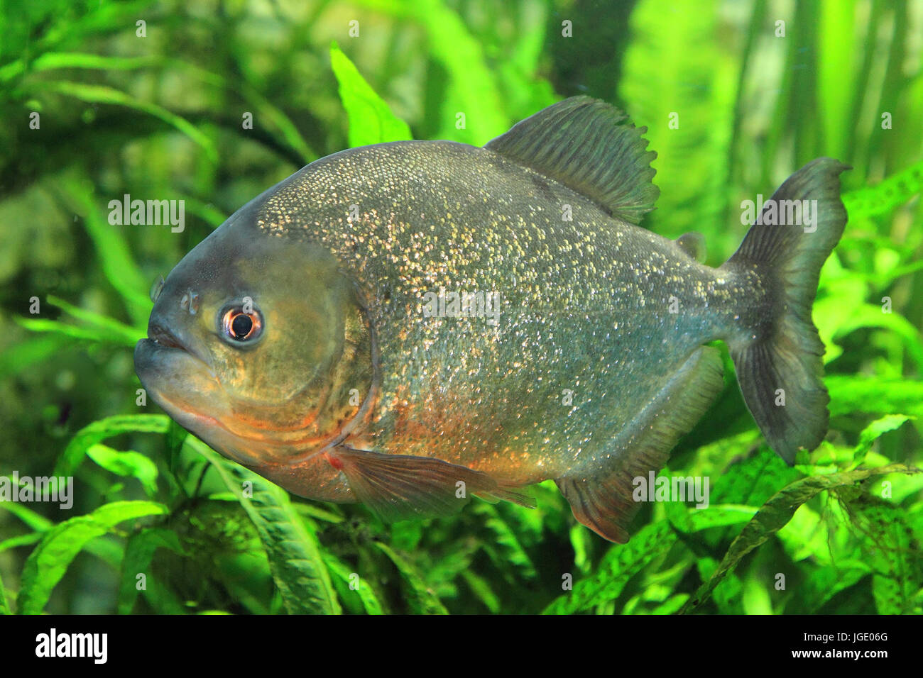 Red piranha, Roter Piranha  Serrasalmus nattereri Stock Photo