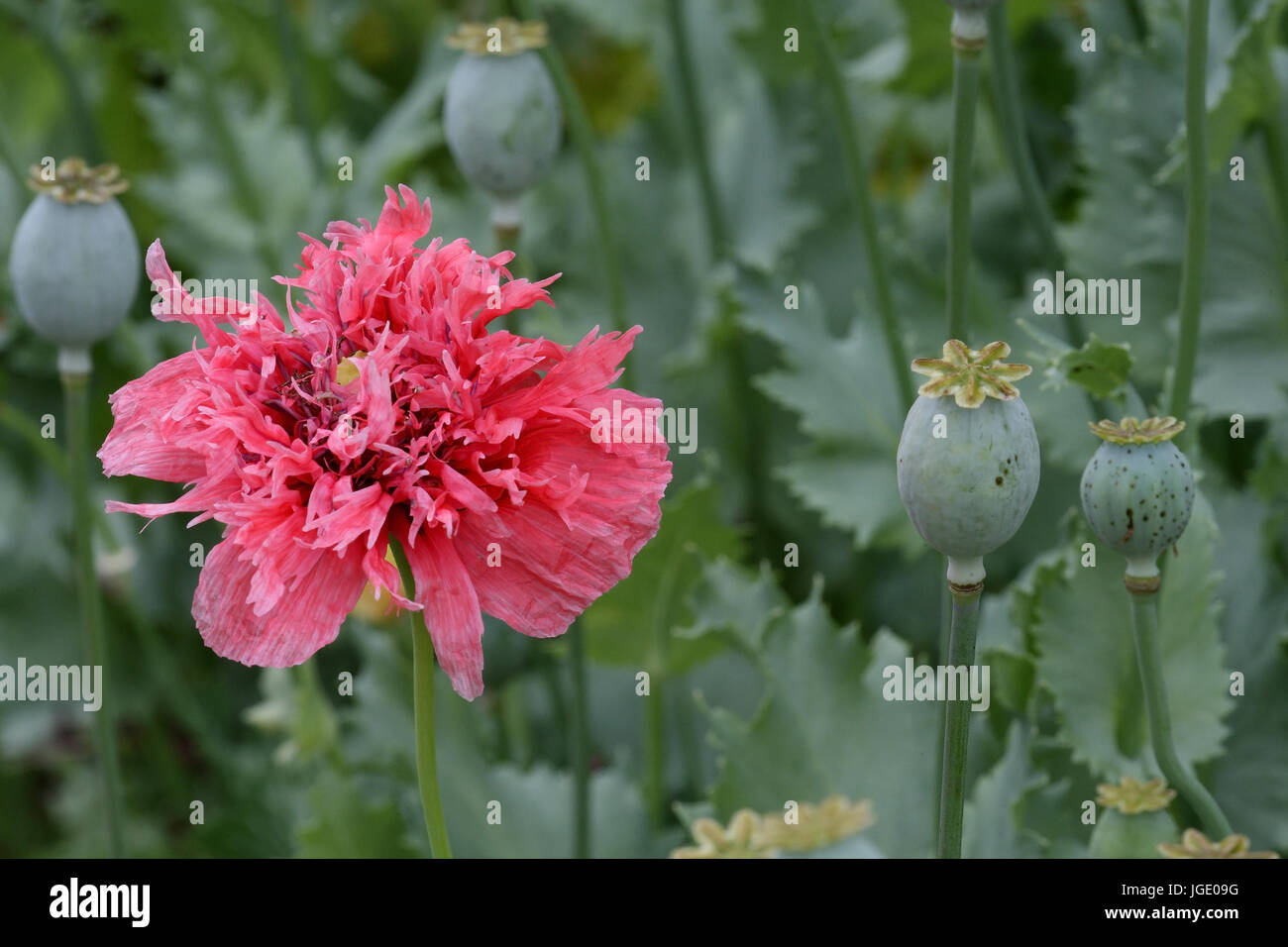Sleeping poppy, Schlaf-Mohn - Stock Image
