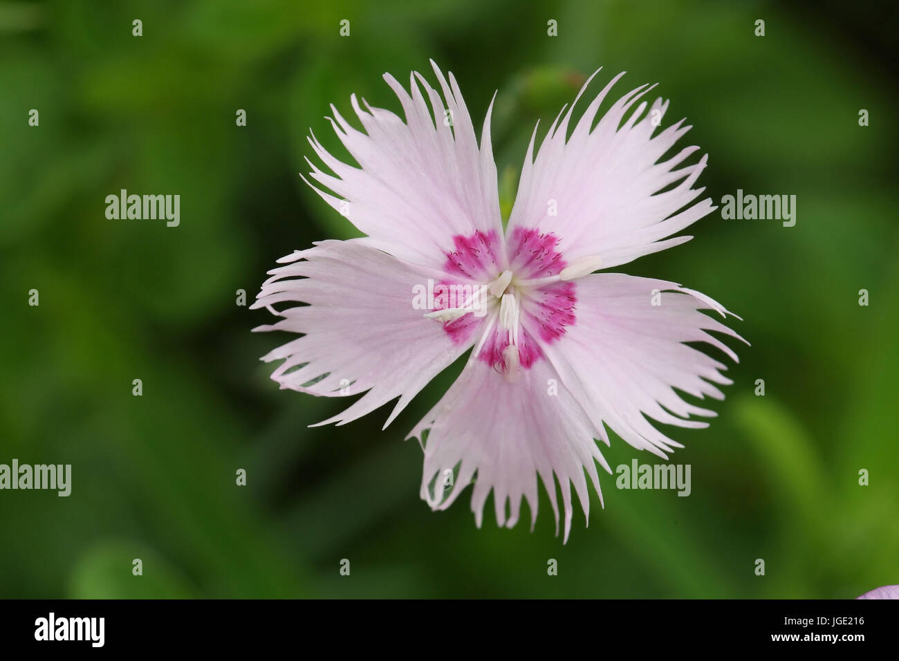 Feather carnation, Federnelke Stock Photo
