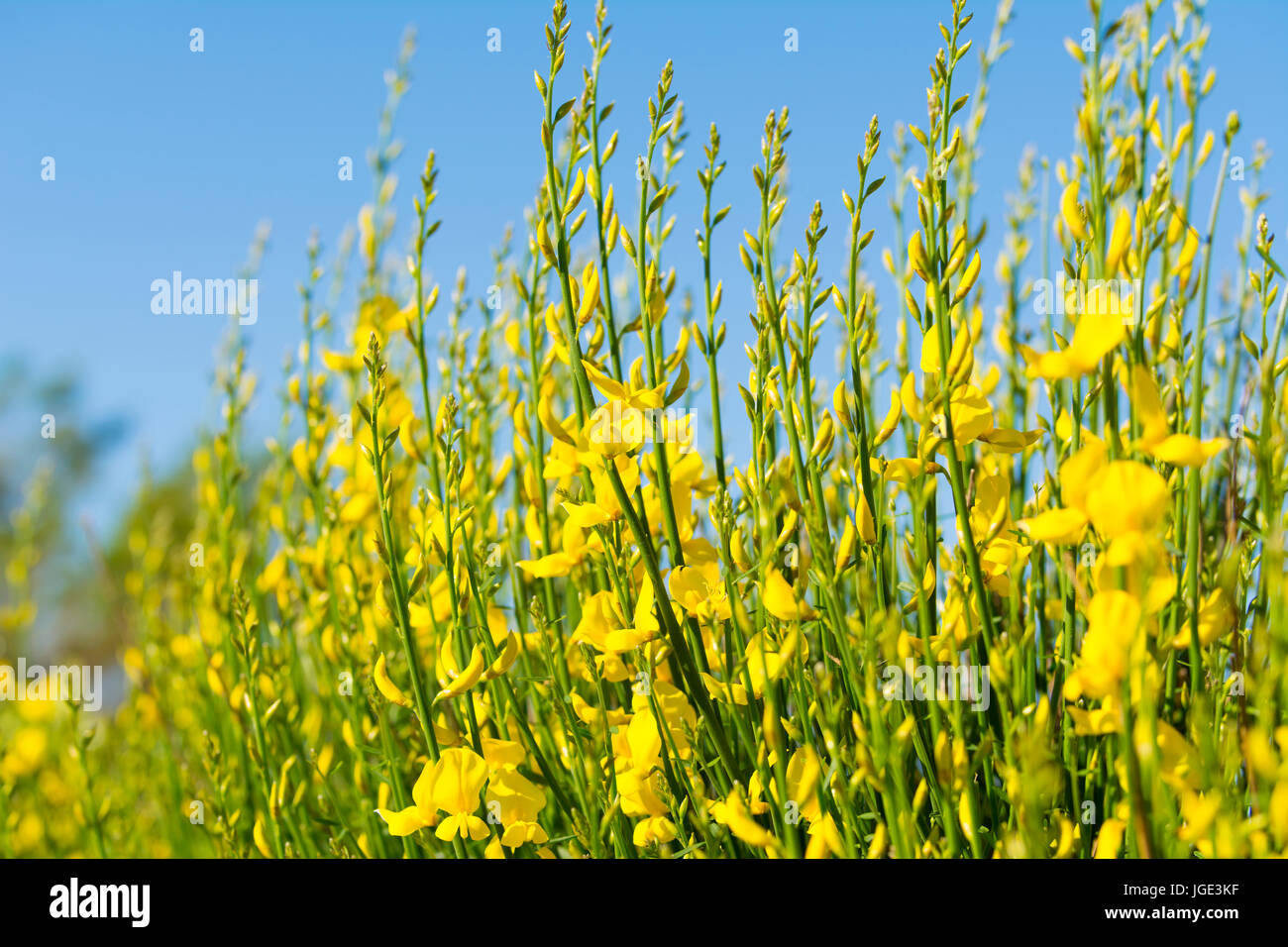 Spanish broom  (Spartium junceum), AKA Weaver's broom growing in Summer in West Sussex, England, UK. - Stock Image