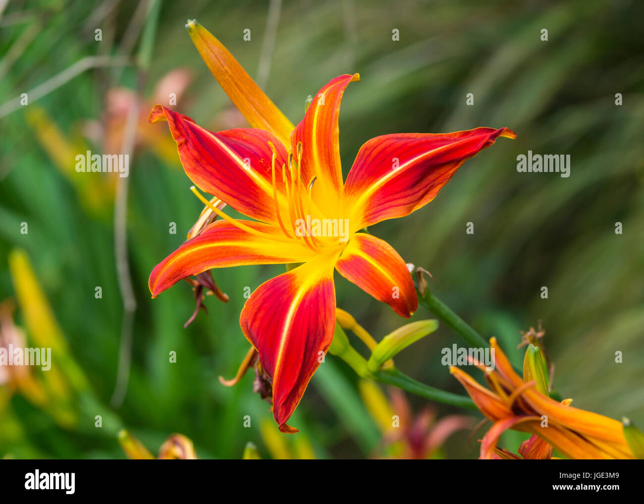 Daylily 'Red Precious' (Hemerocallis 'Red Precious') flower in Summer in West Sussex, England, UK. - Stock Image