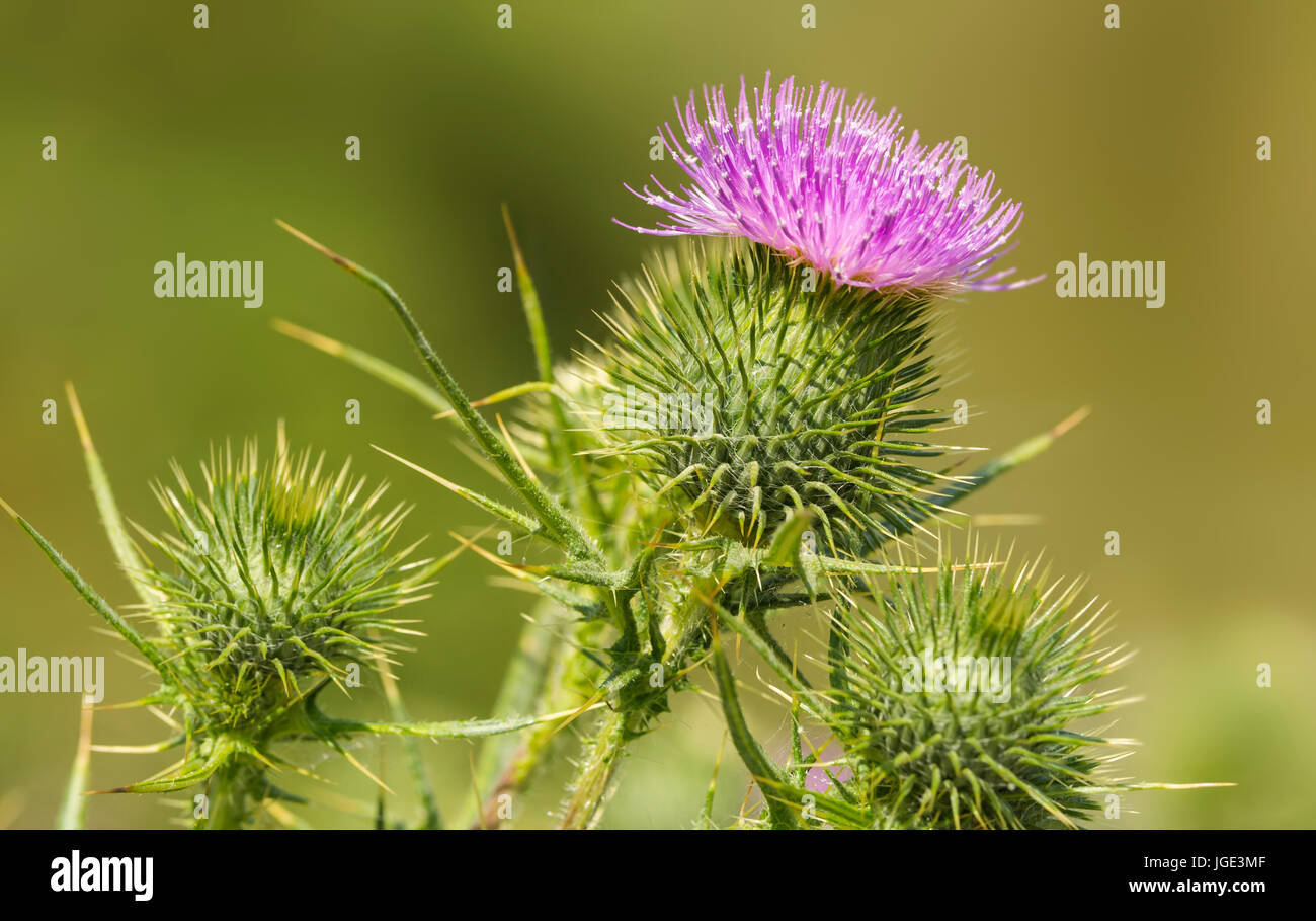 Spear Thistle (Cirsium vulgare) AKA Bull Thistle and Common Thistle, in early Summer in the UK. - Stock Image