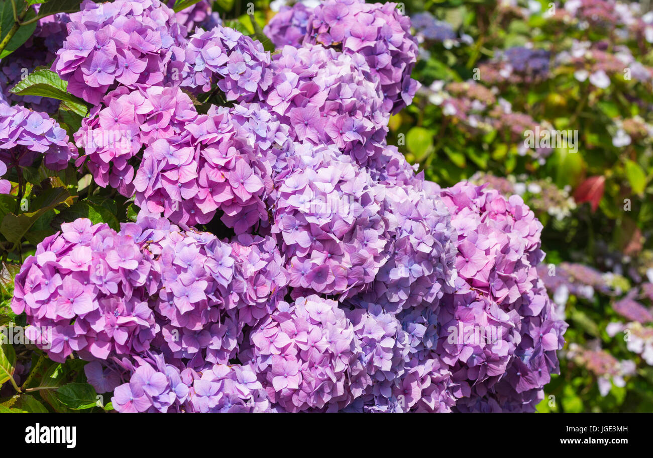 Mauve / Pink Mophead hydrangeas (Hydrangea macrophylla) flowering shrubs growing in Summer in the UK. - Stock Image