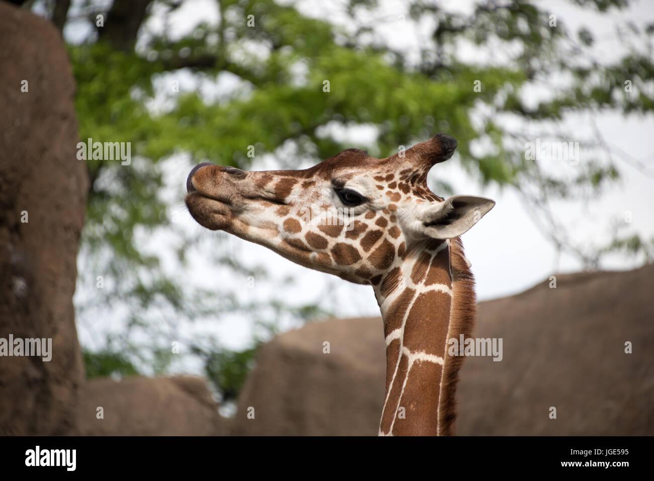 Giraffes Okapis Giraffidae Stock Photos Giraffes Okapis Giraffidae