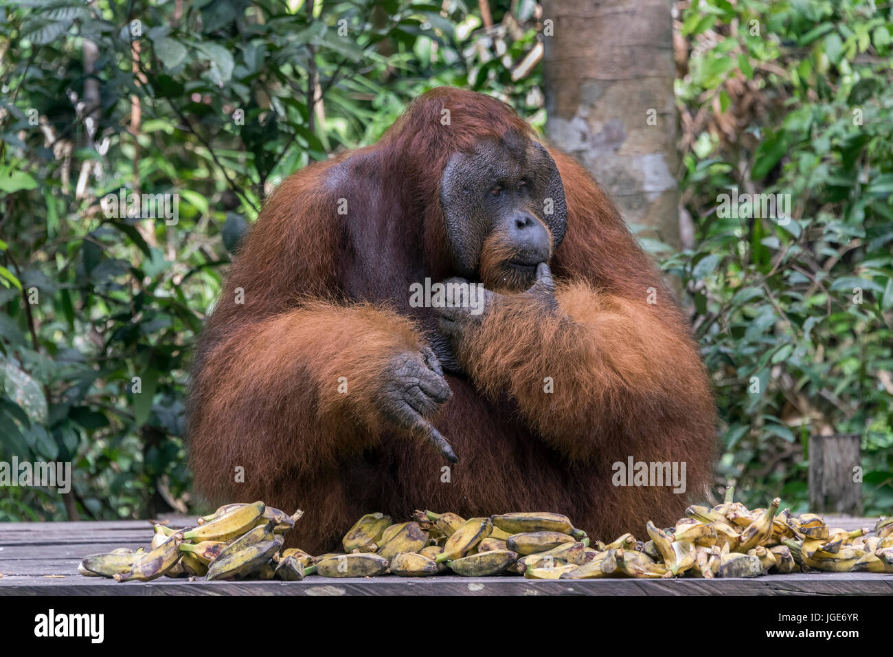 Difficult choice, flanged male Bornean orangutan trying to choose a banana from a large pile, Tanjung Puting NP, - Stock Image