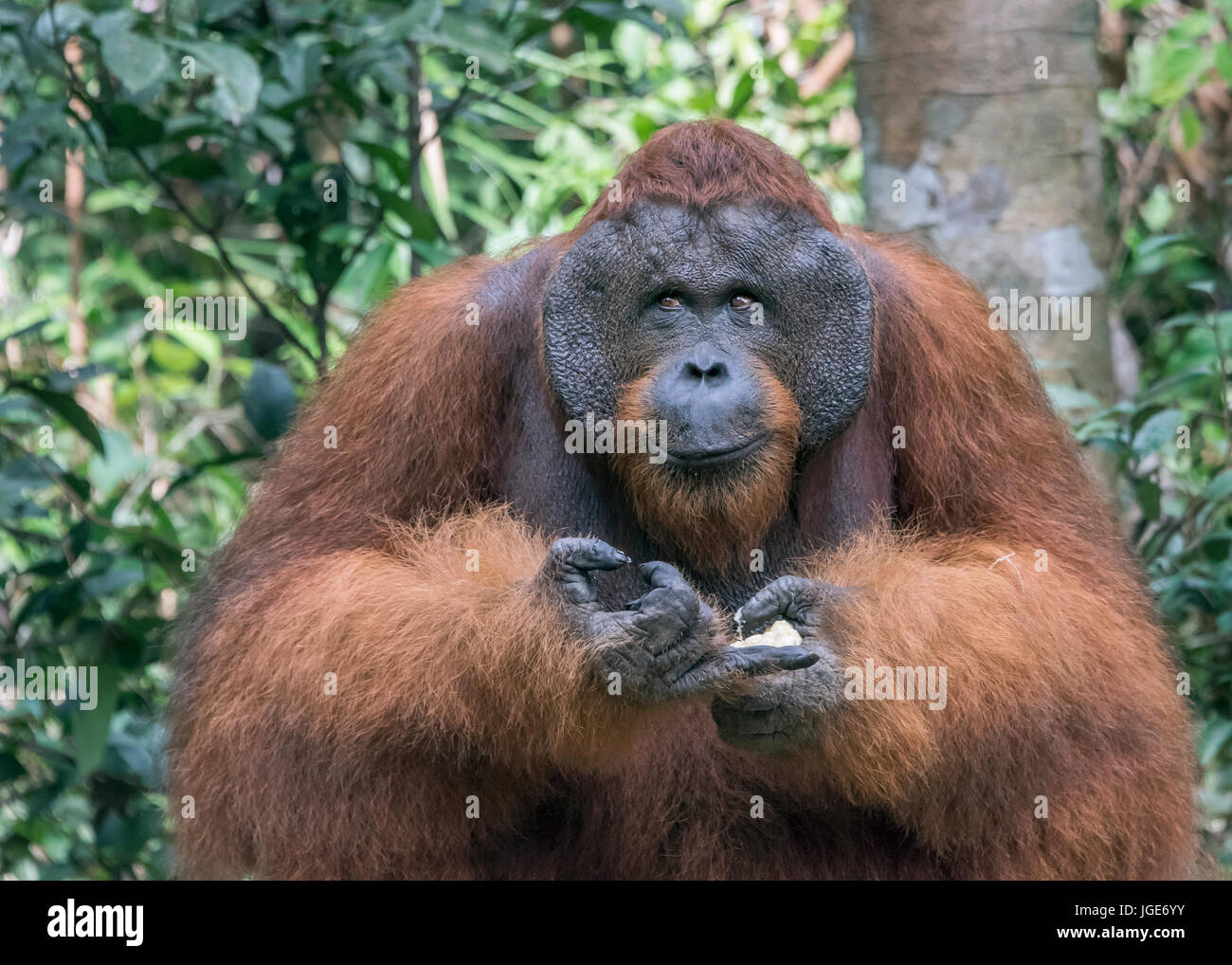 Flanged male orangtan with a mischievous smile, Tanjung Puting National Park, Kalimantan, Indonesia - Stock Image