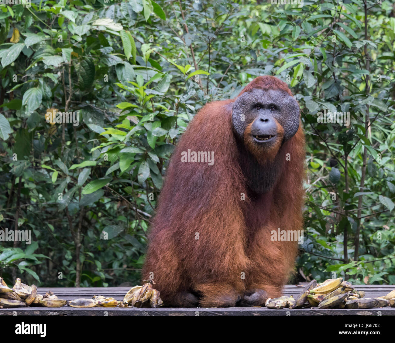 Flanged orangutan with a nice smile sitting for his portrait, Tanjung Puting National Park, Kalimantan, Indonesia - Stock Image