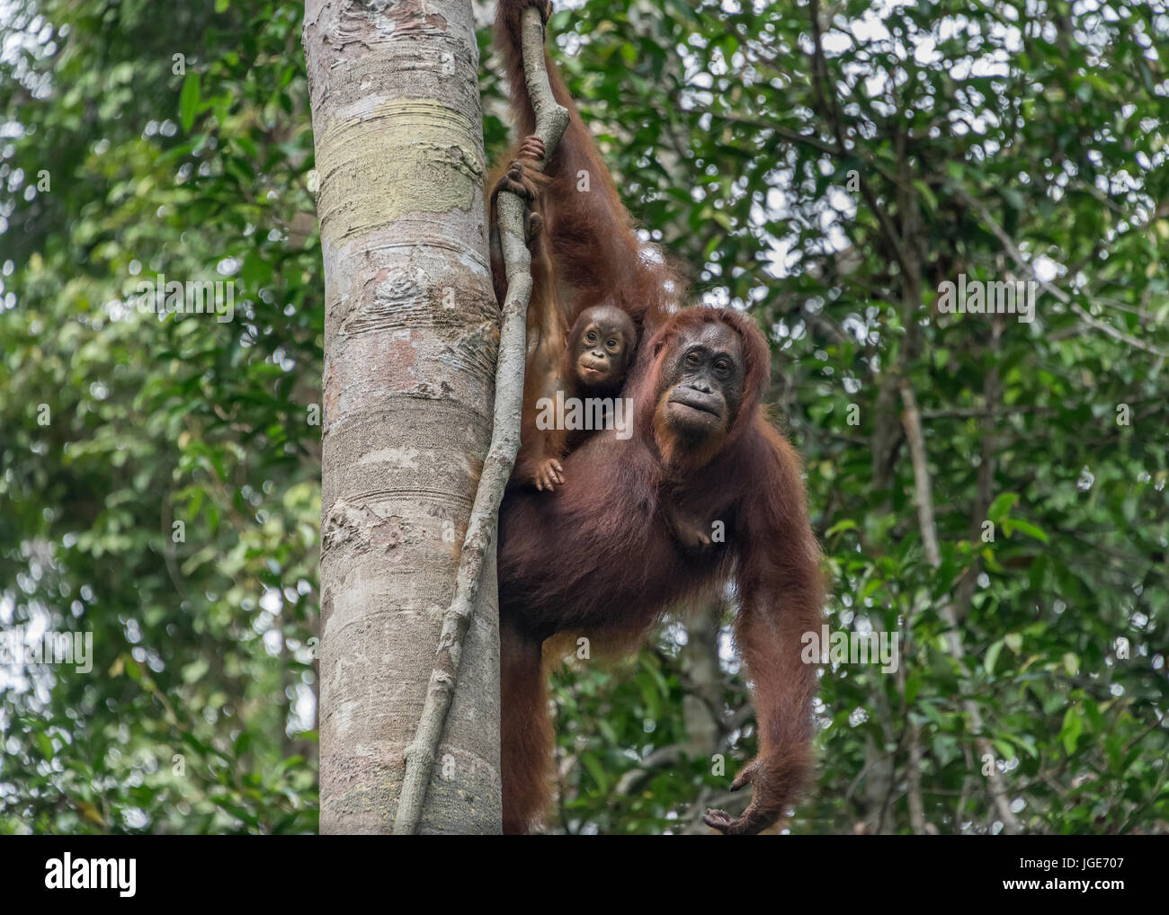 Mother orangutan and look-alike baby high in a tree, Tanjung Puting National Park, Kalimantan, Indonesia - Stock Image