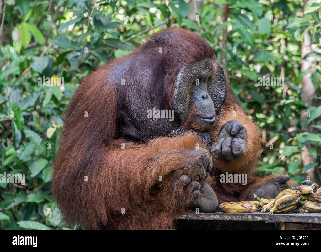 Flanged male organutan inspecting his nails on a feeding platform, Tanjung Puting National Park, Kalimantan, Indonesia - Stock Image