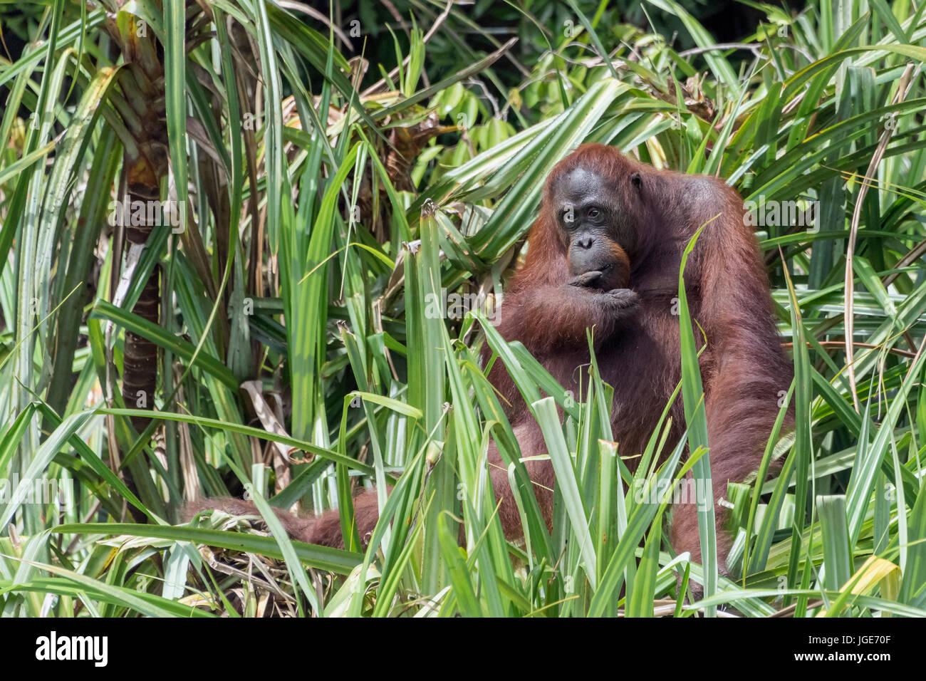 Orangutan sitting in a clump of Pandanus palms by the riverside, Sekonyer River, Tanjung Puting National Park, Indonesia - Stock Image