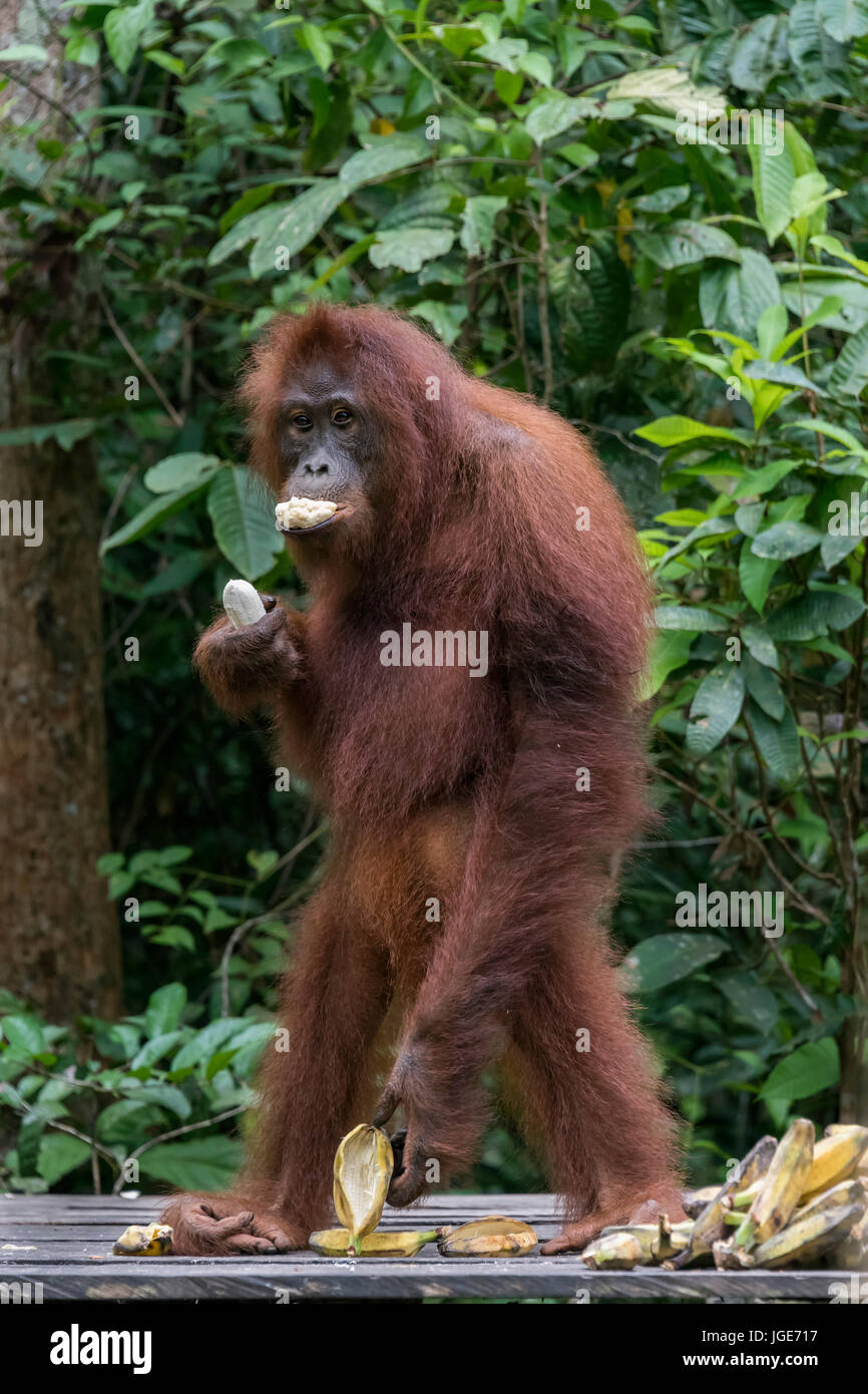 Young orangutan shoving bananas into its mouth at a feeding station, Tanjung Puting National Park, Kalimantan, Indonesia - Stock Image
