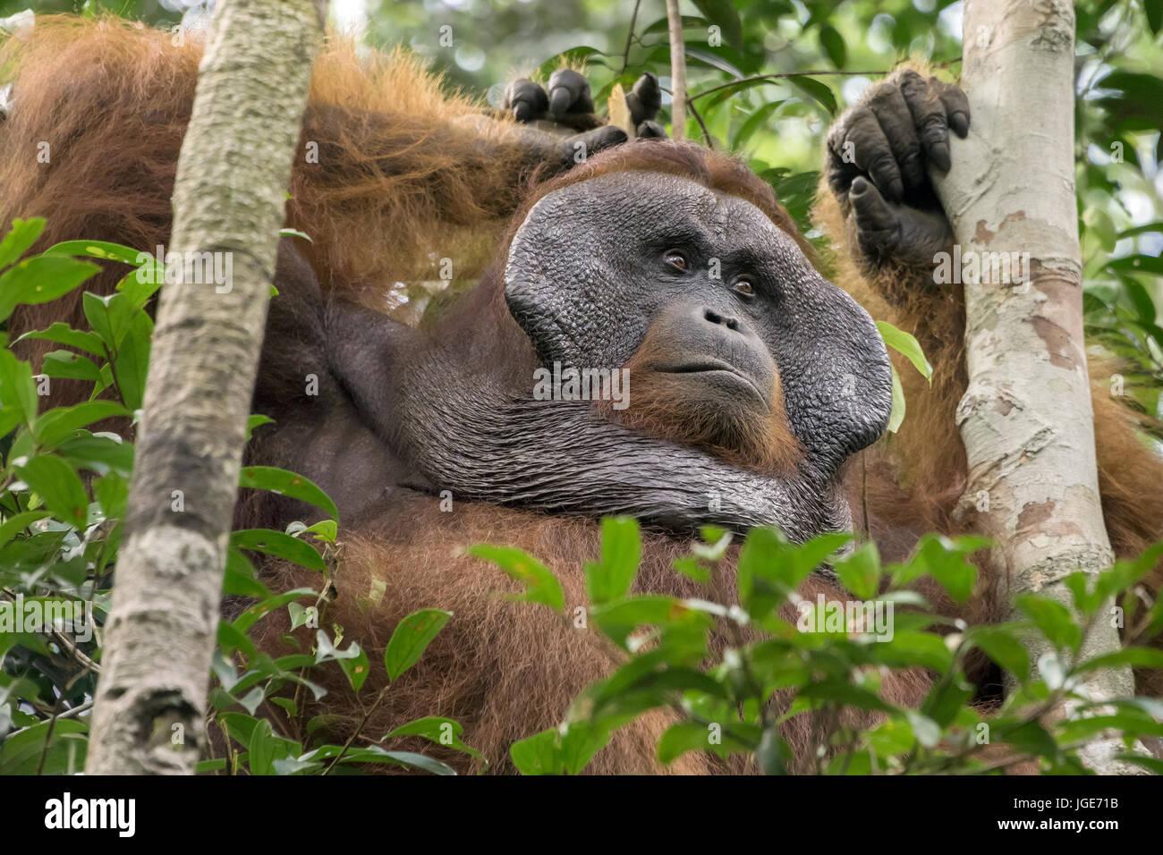 Flanged male orangutan relaxing in a tree, Tanjung Puting National Park, Kalimantan, Indonesia - Stock Image