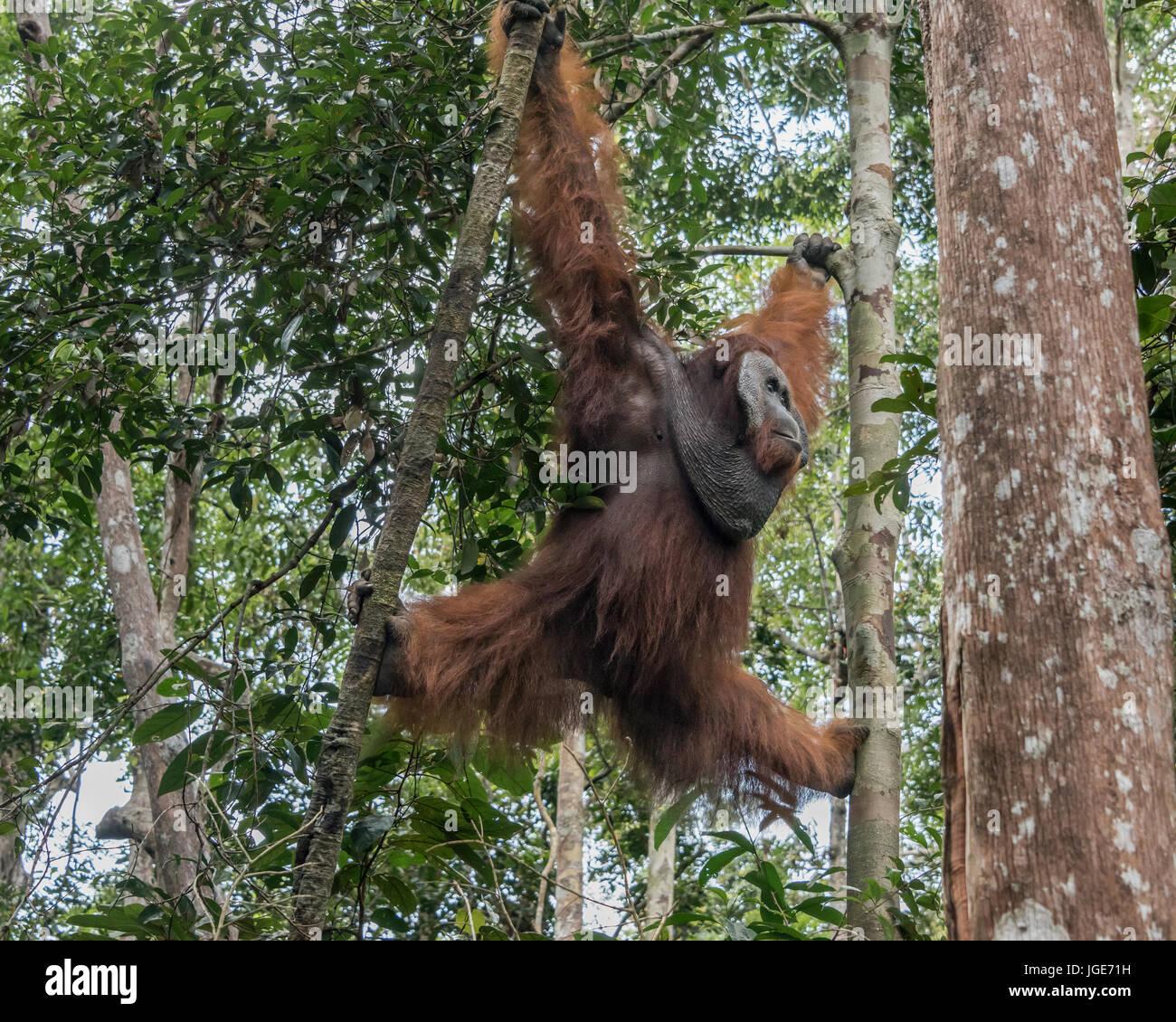 Acrobatic dominant male orangutan, Tanjung Puting National Park, Kalimantan, Indonesia - Stock Image