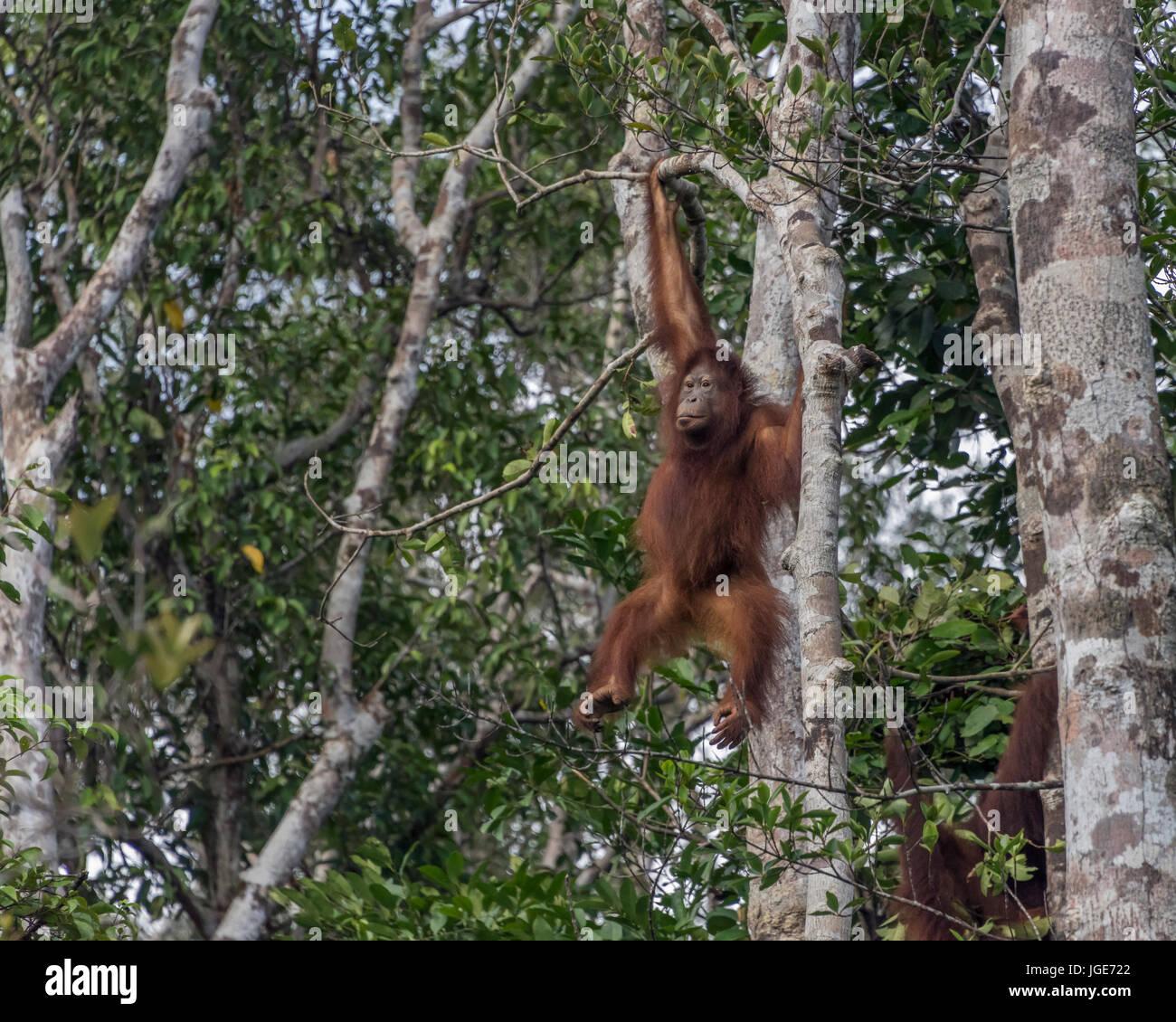 Young orangutan swinging in the trees, Tanjung Puting National Park, Kalimantan, Indonesia - Stock Image