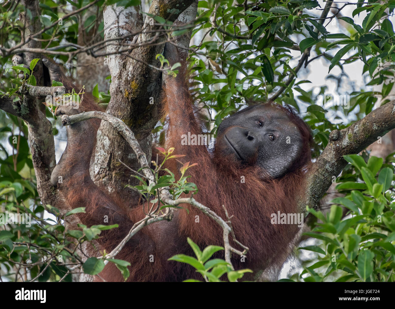 Smiling orangutan high in tree, Tanjung Puting National Park, Kalimantan, Indonesia Stock Photo