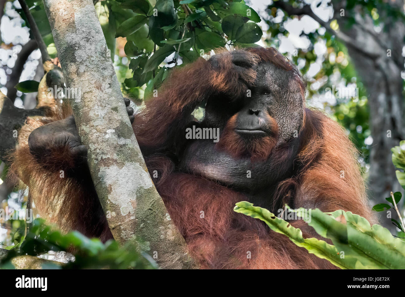 Flanged male orangutan in the forest, Tanjung Puting National Park, Kalimantan, Indonesia - Stock Image