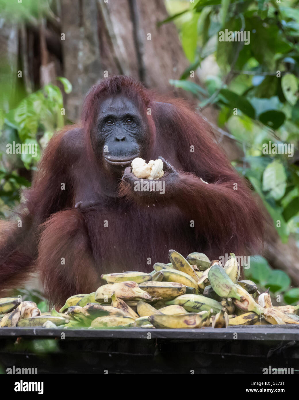 Female orangutan trying to eat her way through a pile of bananas at a feeding station, Tanjung Puting NP, Indonesia - Stock Image