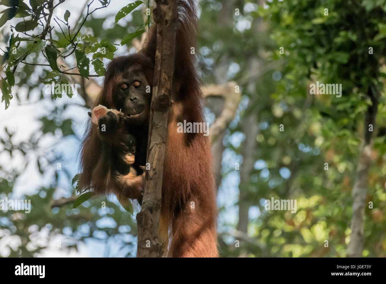 Mother orangutan hanging in a tree with a piece of fruit and a baby, Tanjung Puting NP, Kalimantan, Indonesia - Stock Image
