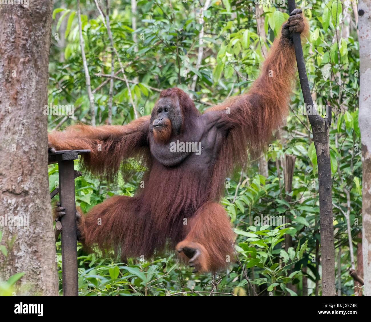 Large dominant wild male orangutan swiming over to the feeding platform, Tanjung Puting National Park, Kalimantan, - Stock Image