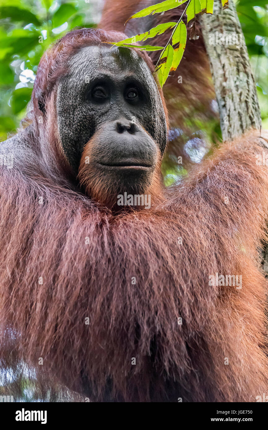 Close-up of a wild orangutan in the forest along the Sekonyer River, Tanjung Puting NP, Kalimantan, Borneo - Stock Image