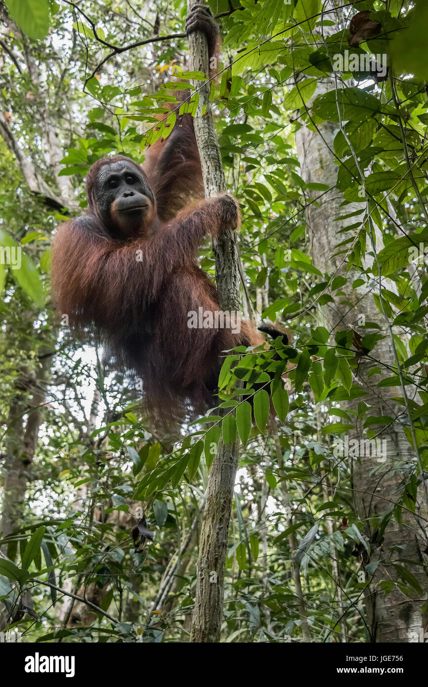 Wild orangutan in the  tropical heath and peat swamp forest along the Sekonyer River, Tanjung Puting NP, Kalimantan - Stock Image