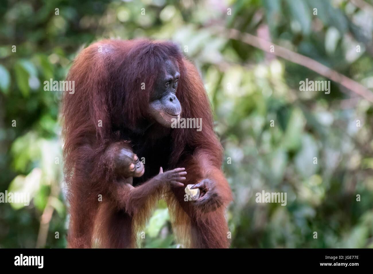 Baby orangutan trying to grab mother's banana at a feeding station, Tanjung Puting NP, Indonesia - Stock Image