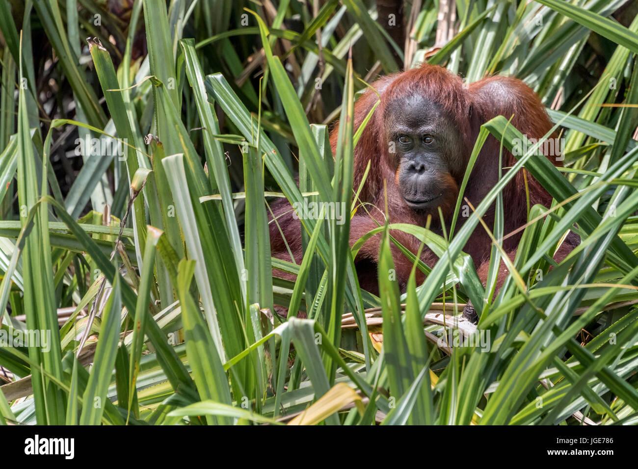 Orangutan in palmetto grass by the Sekonyer River, Kalimantan, Indonesia - Stock Image