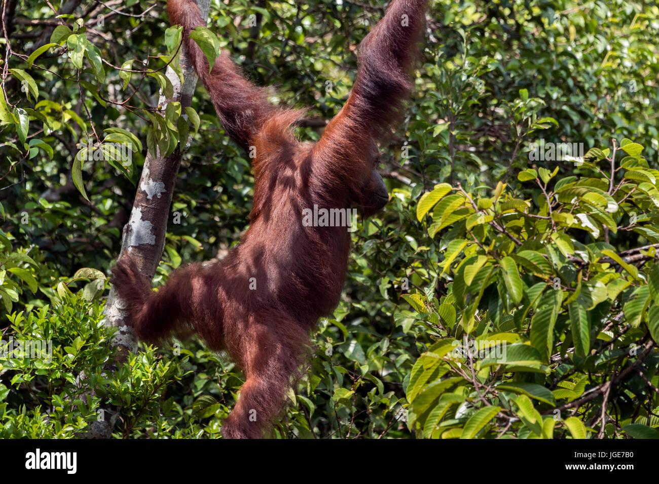 Wild orangutan swinging through the trees, Tanjung Puting National Park, Kalimantan, Indonesia - Stock Image