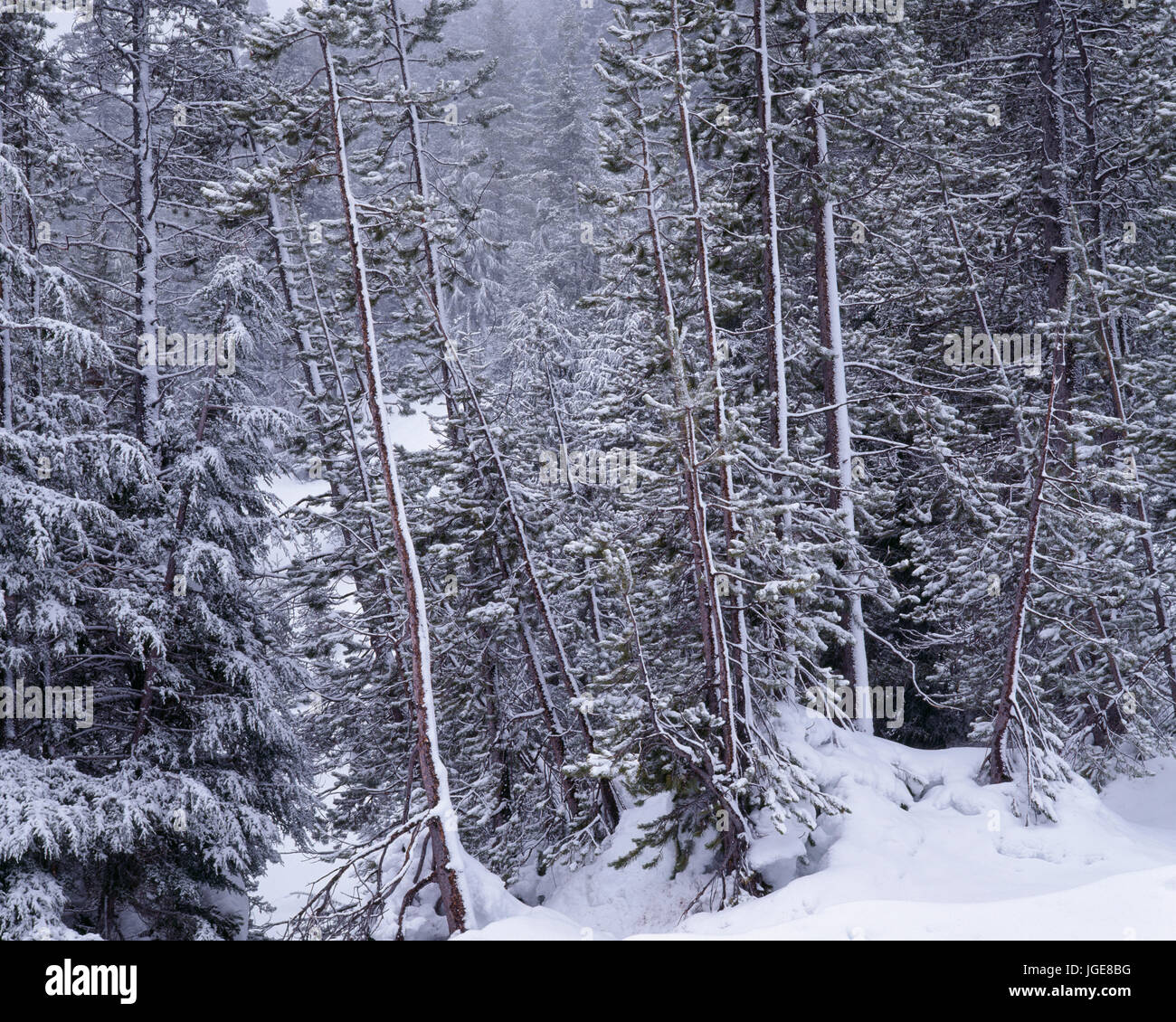 USA, Oregon, Crater Lake National Park, Winter snow clings to conifer forest. - Stock Image