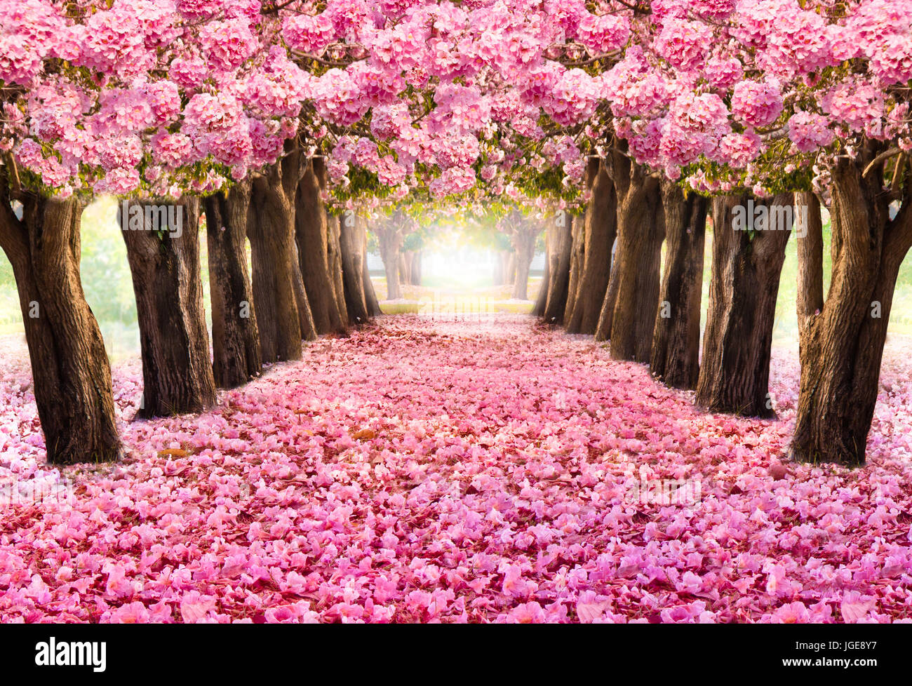 The Romantic Tunnel Of Pink Flower Treesblossom Blooming In Spring