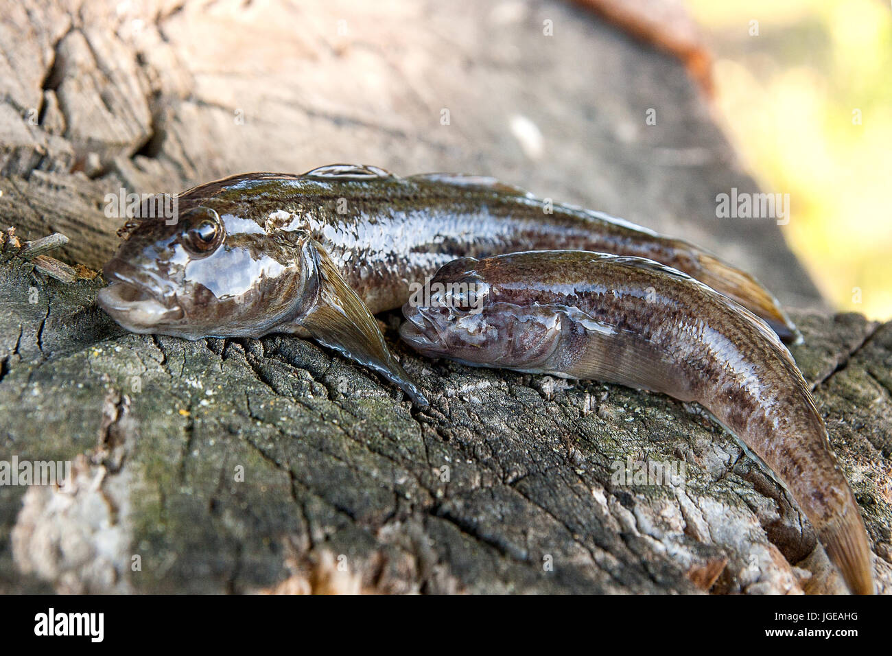 freshwater bullhead fish or round goby fish known as