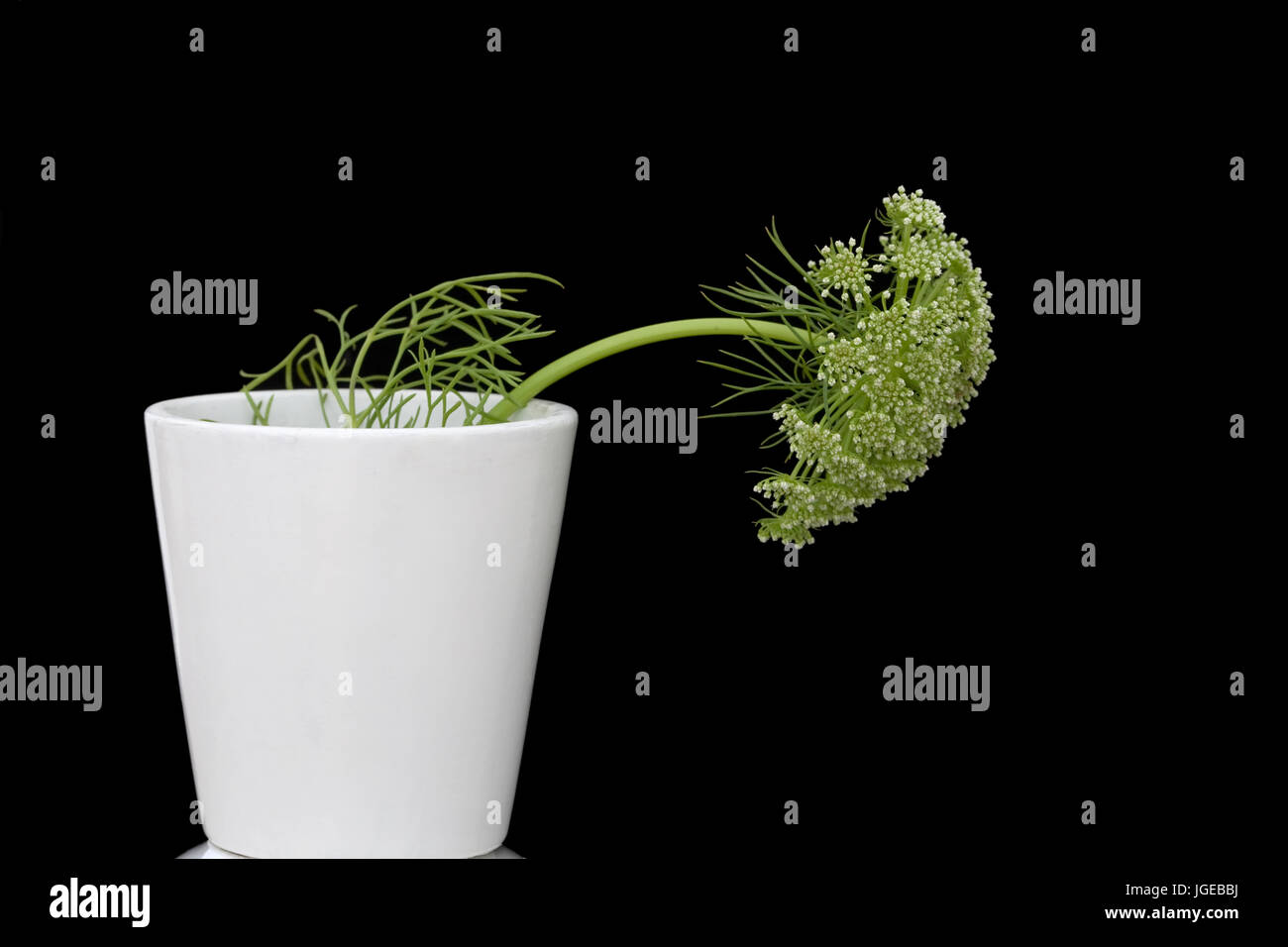 Minimal Still life - Dill flower in white pot.  Ammi majus in white pot on black back ground. Stock Photo
