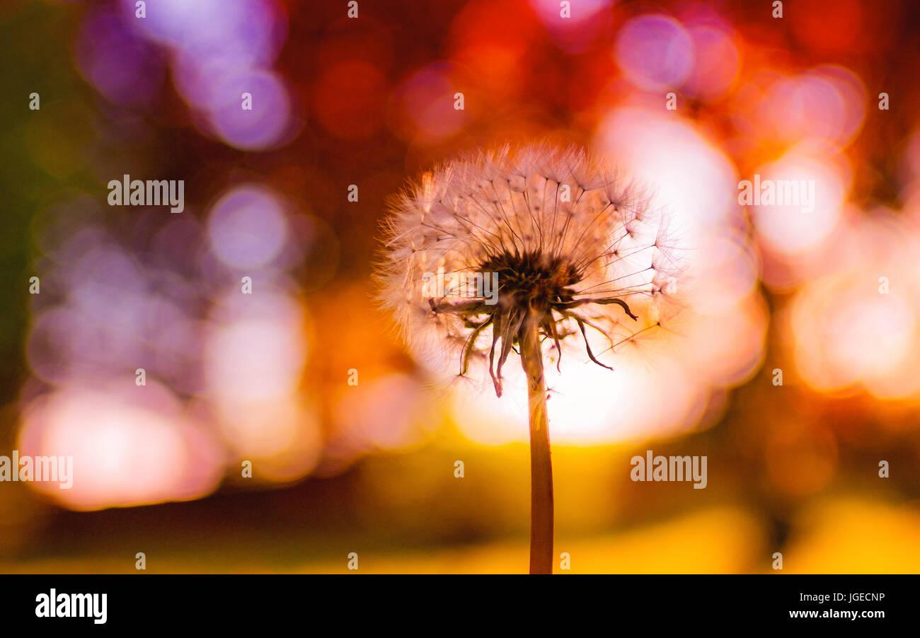 Dandelion seed head closeup - Stock Image
