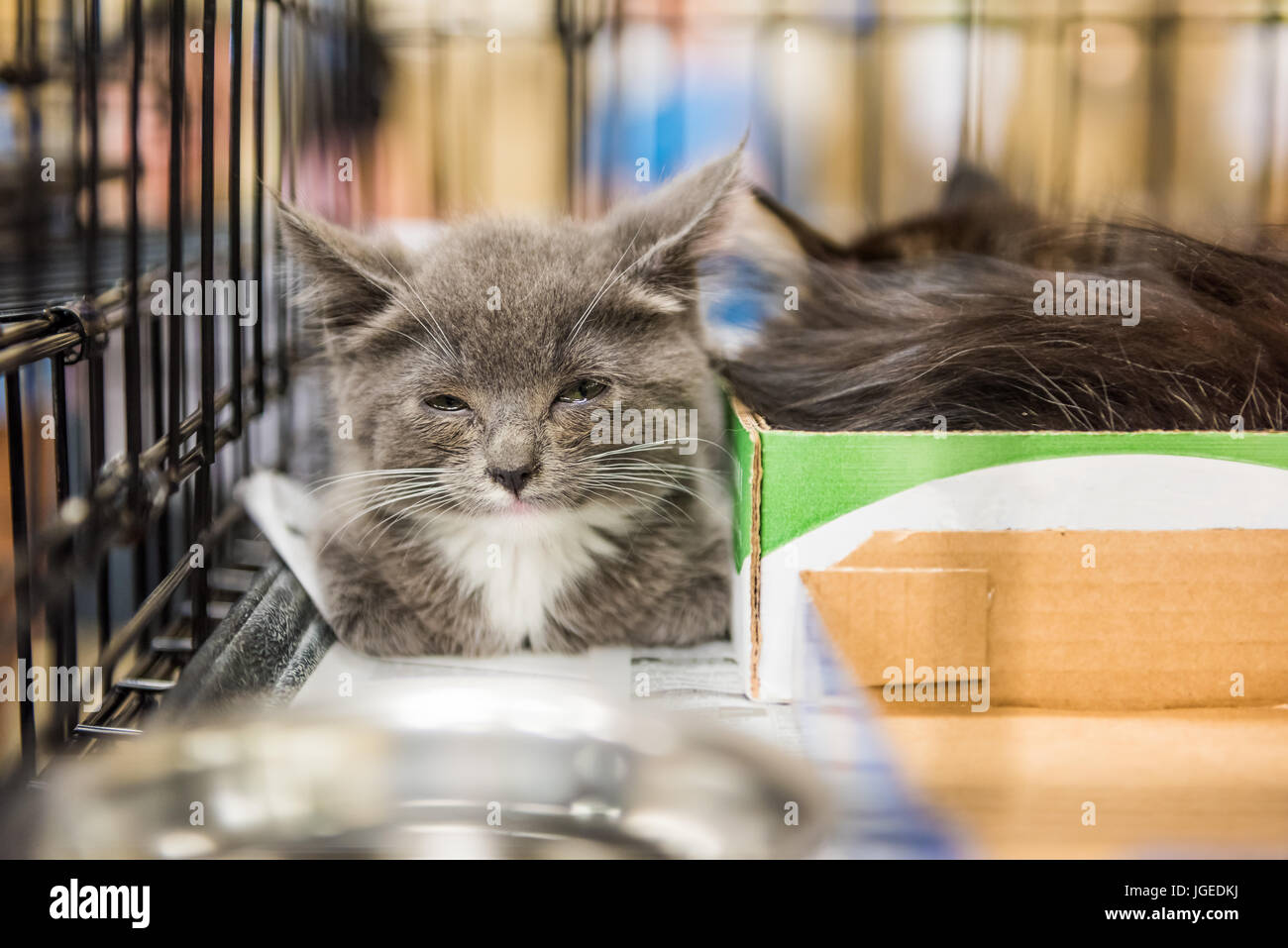 Closeup of adorable tiny russian blue grey and white kitten with green eyes blinking in cage - Stock Image