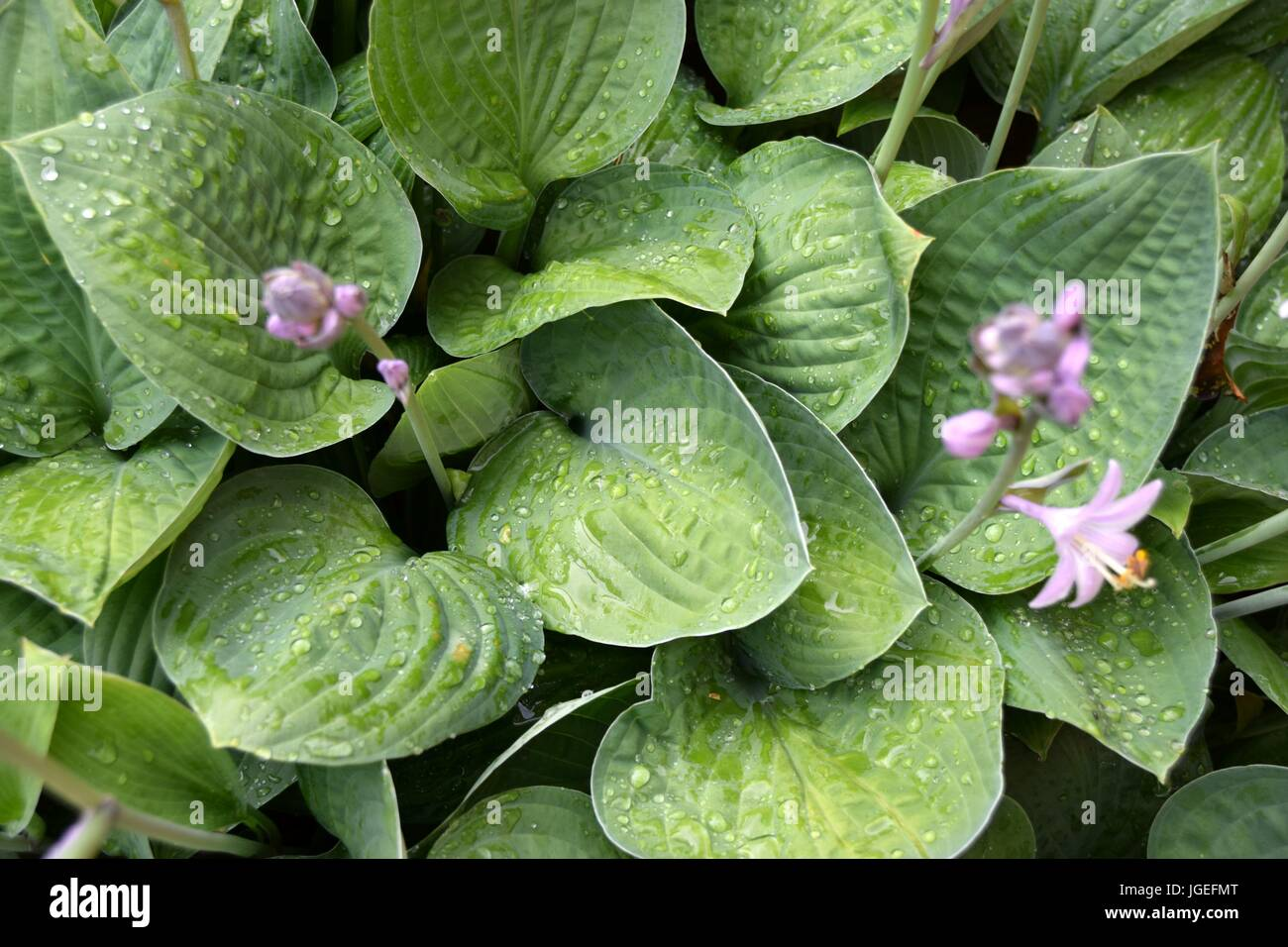 Hosta, Blaue Gelbrand-Funkie, Francess Williams, - Stock Image