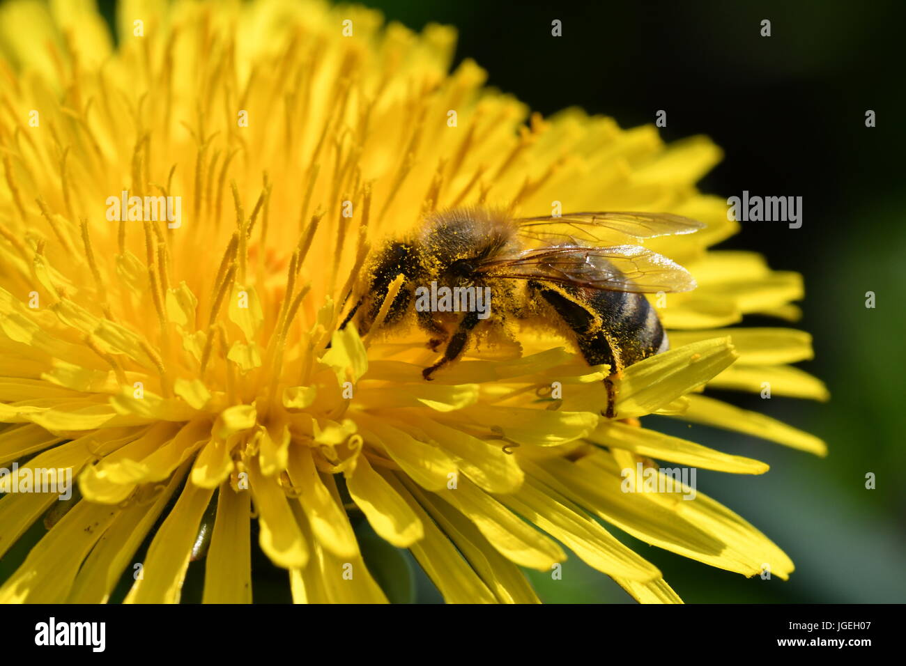 macro The bee polinates on the flower - Stock Image