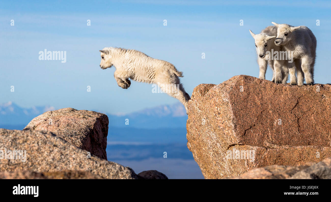 Mountain Goat Kids working on their jump technique - Stock Image