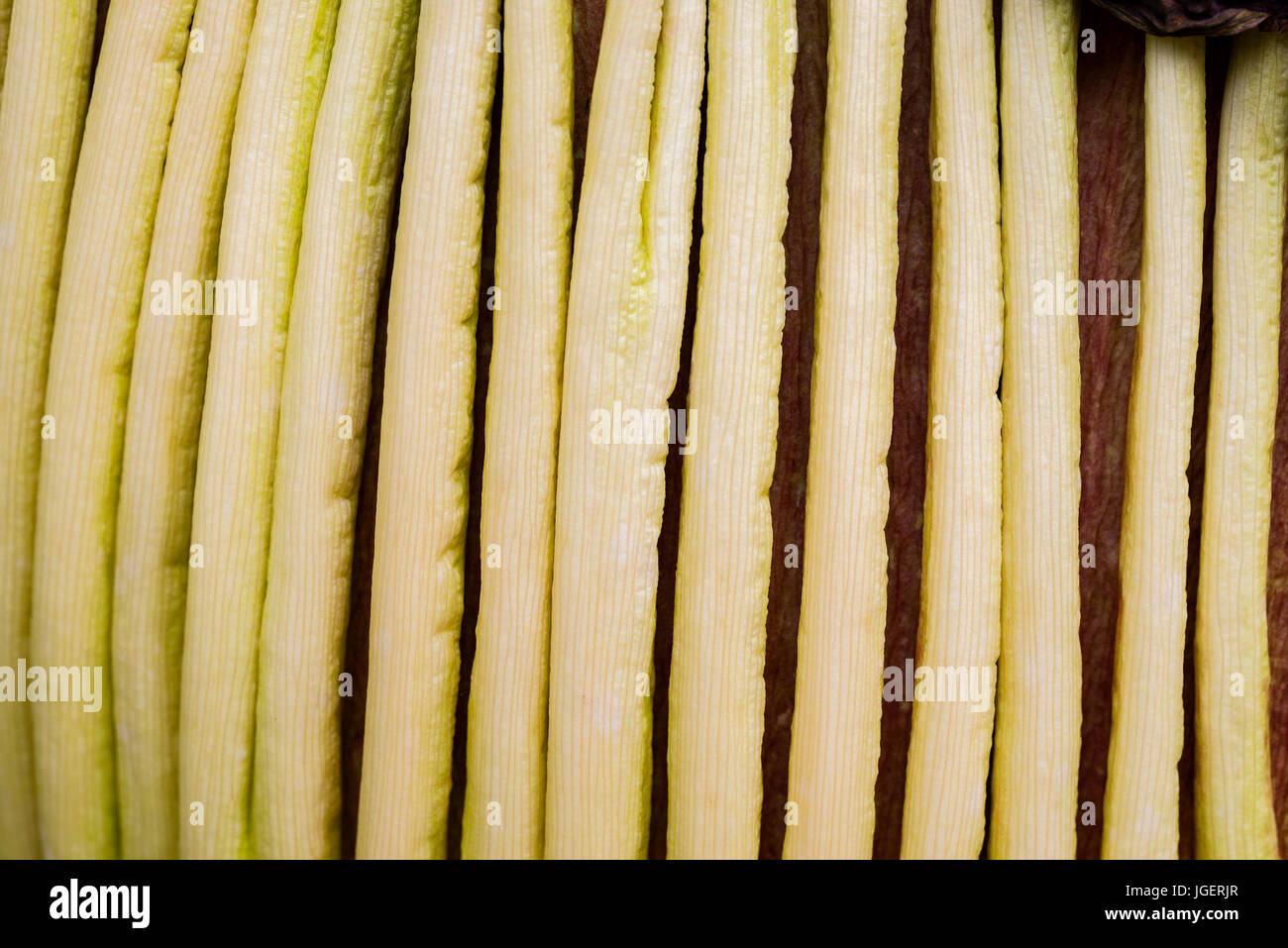 Corpse flower 1 day post bloom close ups and abstracts. - Stock Image