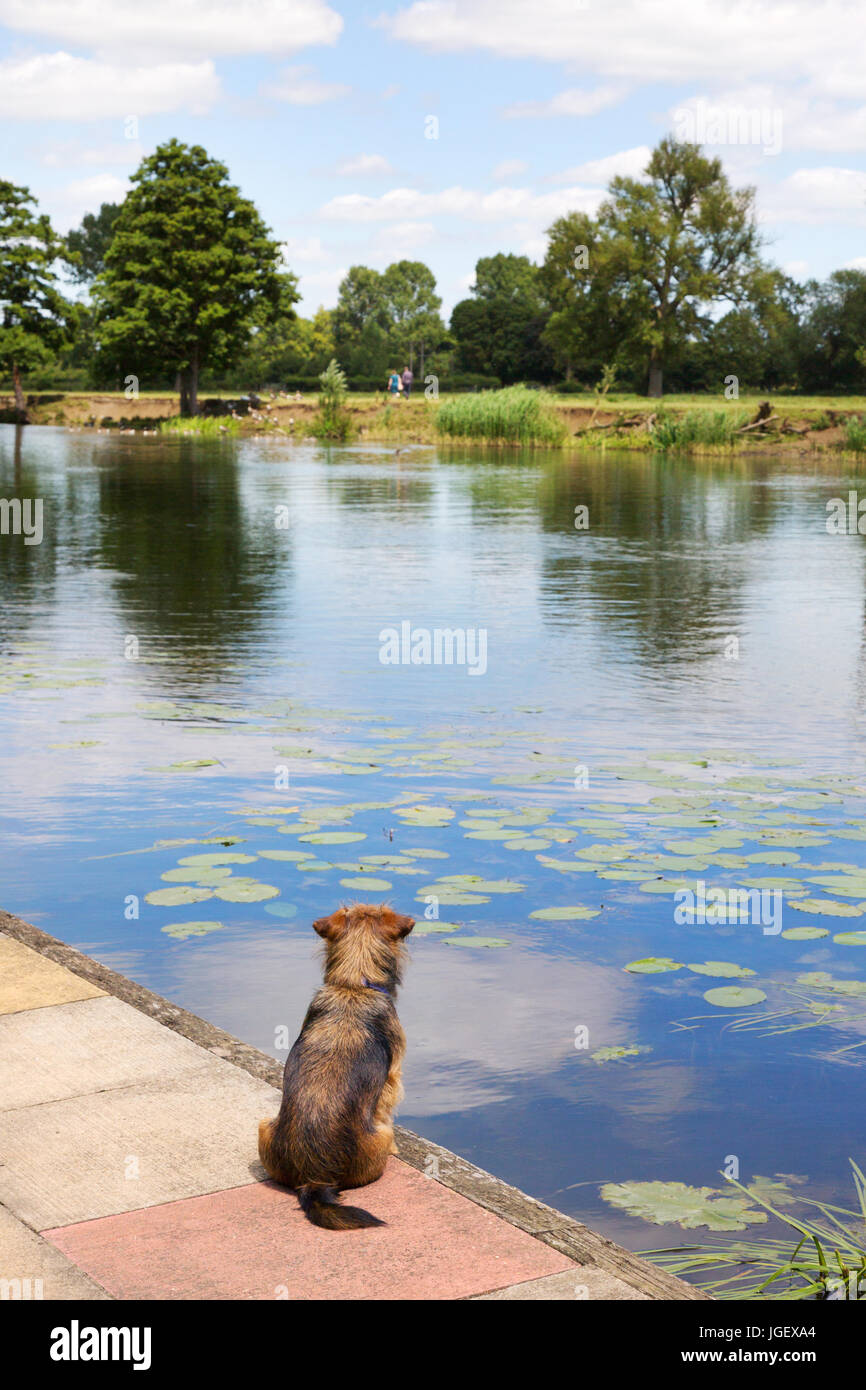 A dog sitting on the Thames path on the bank of the River Thames looking at the water, Wallingford, Oxfordshire - Stock Image