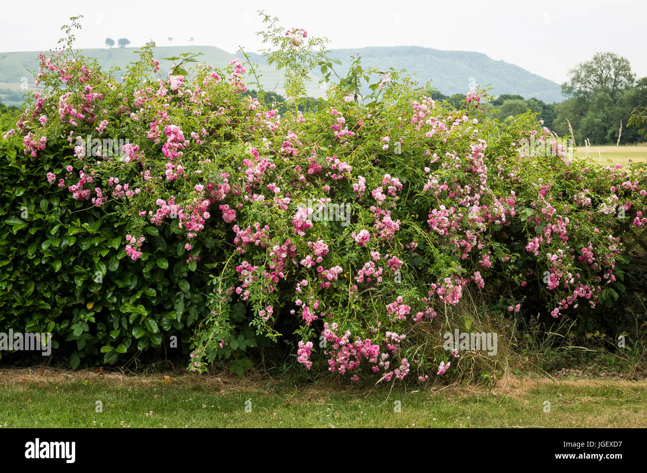 A floriferous pink rambler rose scrambling and mingling with neighbouring laurel to form a colourful boundary hedge Stock Photo