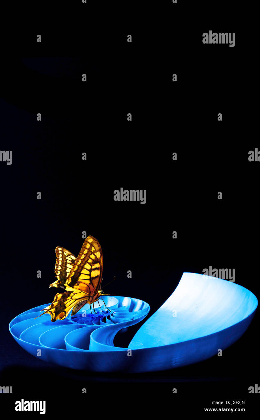 a swallowtail butterfly sitting on a Nautilus shell, creativity, transformation and change concept - Stock Image