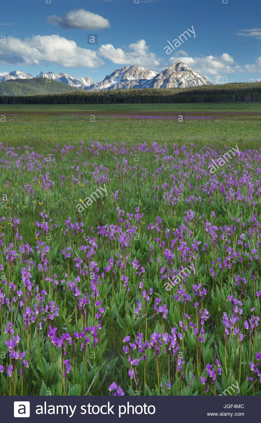 Shooting Star (Dodecatheon conjugens) wildflowers blooming in Elk Meadows, Salmon-Challis National Forest Idaho - Stock Image