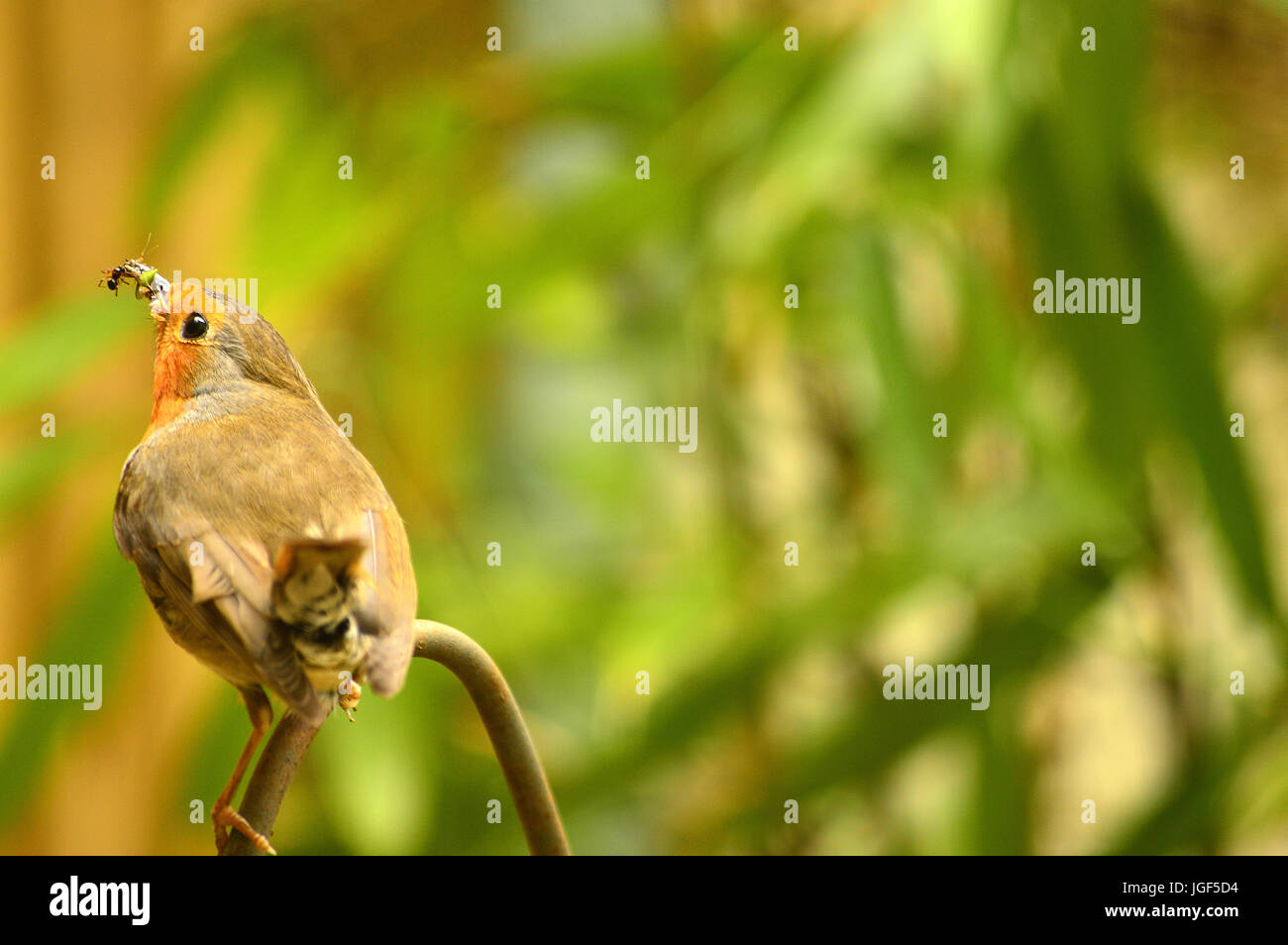 Robins with food for young - Stock Image