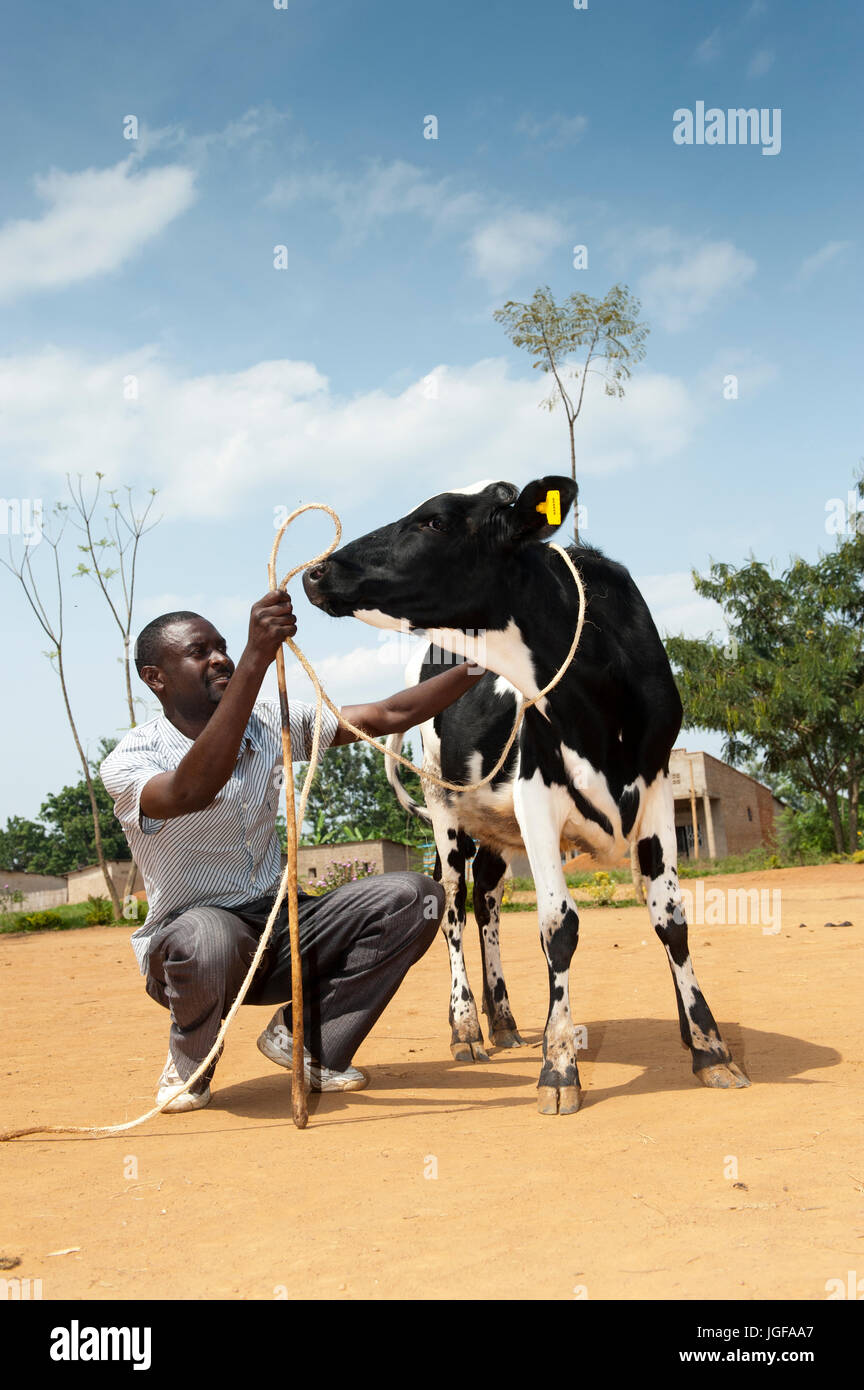 Rwandan farmer receiving a dairy cow from a charity aiming to help African farmers support themselves. - Stock Image