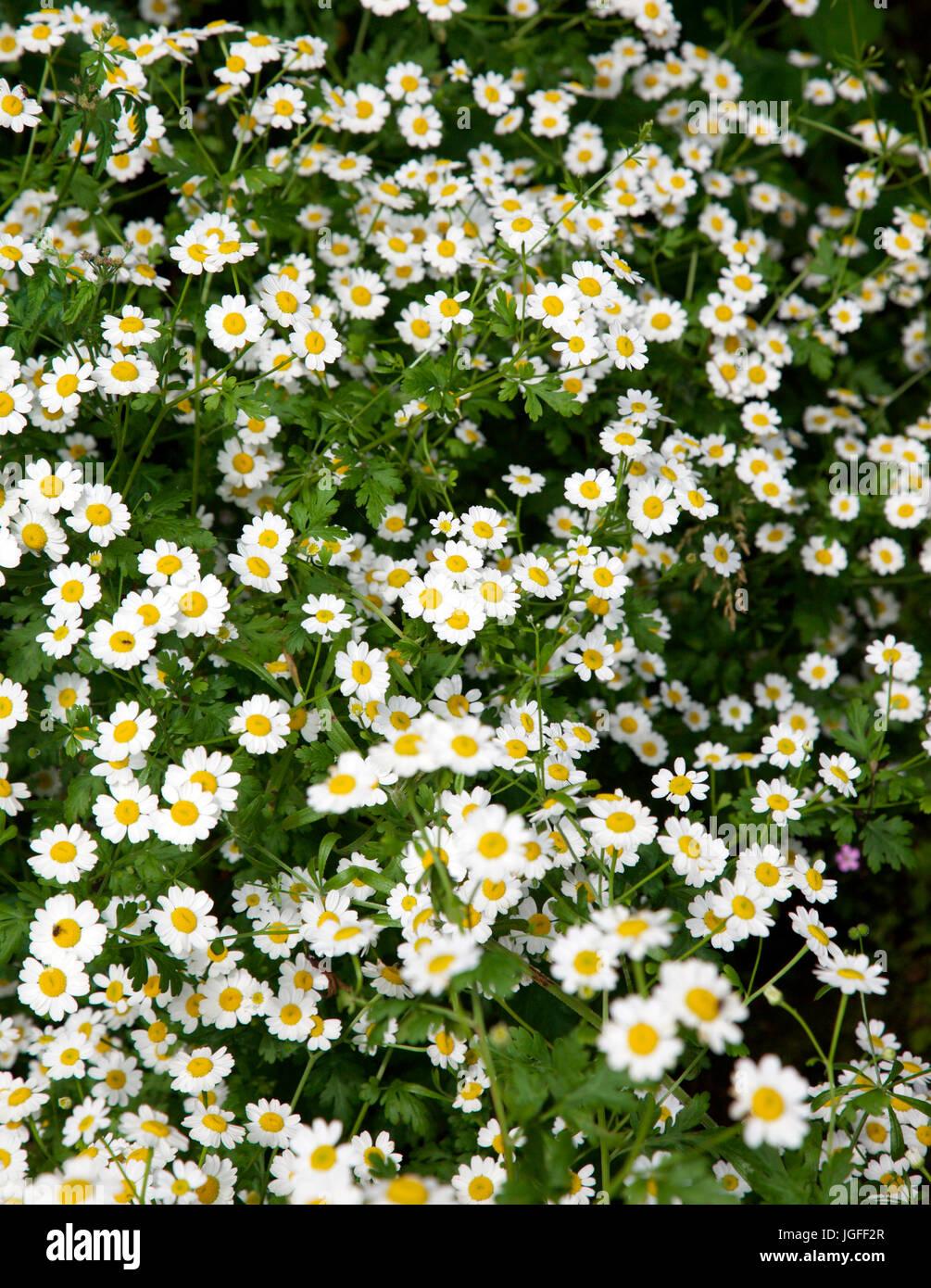 Feverfew, Tanacetum parthenium, wild flower growing in an Irish garden - Stock Image